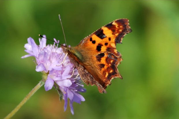 A comma butterfly on a field scabious flower. © HeitiPaves/iStock