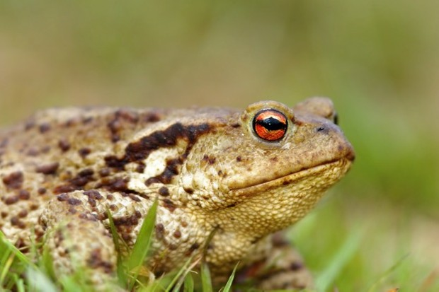 Climate change could be a contributing factor to the toad's decline, as milder winters have a detrimental effect on their hibernation. © taviphoto/iStock