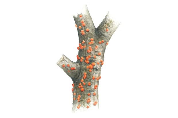 coralspotfungus_623-6bb5ff0