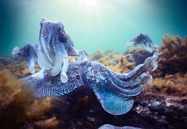 cuttlefish623-d543385