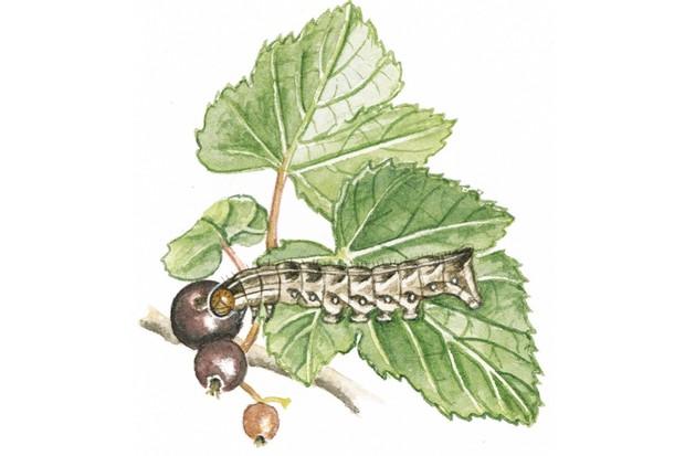 Dot moth caterpillar