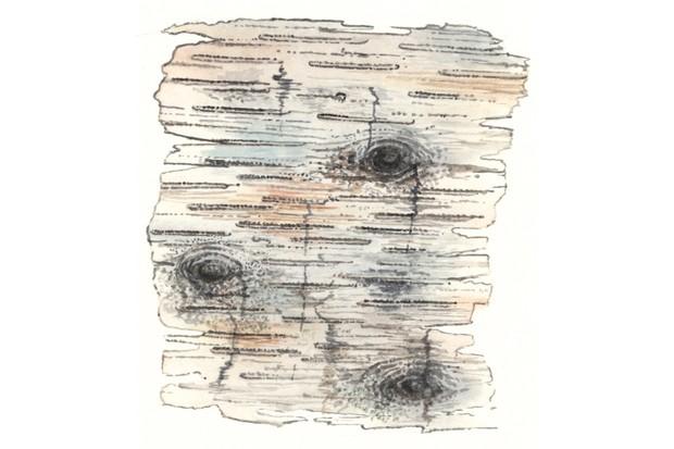 Downy birch tree bark