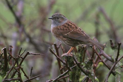 BTO Garden Bird of the Month – March: Dunnock - Discover
