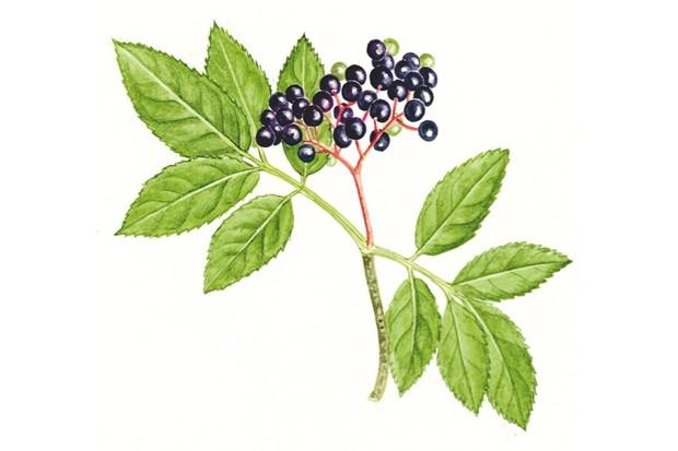 elderberry20Felicity20Rose20Cole-f534ce8