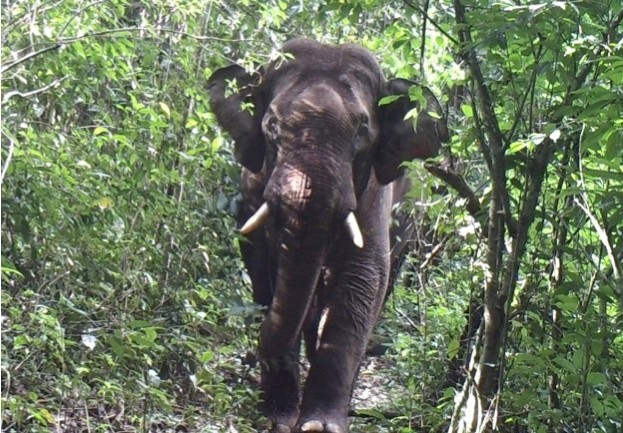 Asian elephants are the continent's largest terrestrial mammals © Karen Wildlife Conservation Initiative