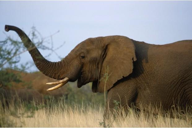 elephant_ifaw_623-c96829e