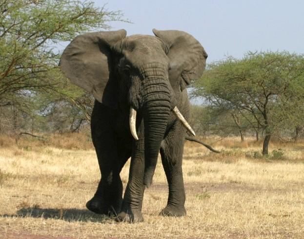 elephant_oariff_istock_623-d4840ca