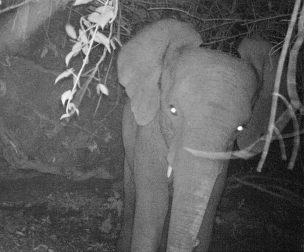 A young elephant captured on a camera trap © Dr. DeeAnn Reeder of Bucknell University