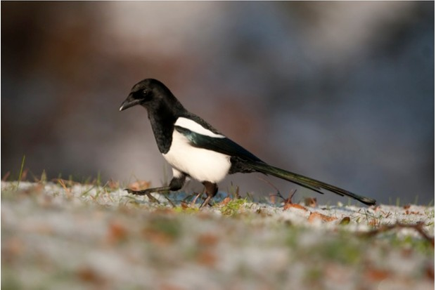 Magpie, pica pica, in the snow in Rochdale Cemetery, UK