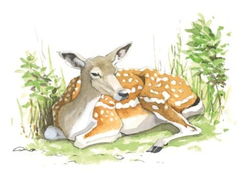 fallow-deer-bbc4_480-d8bf9cf