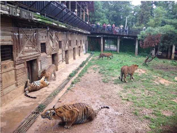 Tigers are kept in farms to be killed for their pelts and bones. © EIA