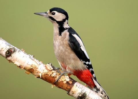 Bto Garden Bird Of The Month June Great Spotted