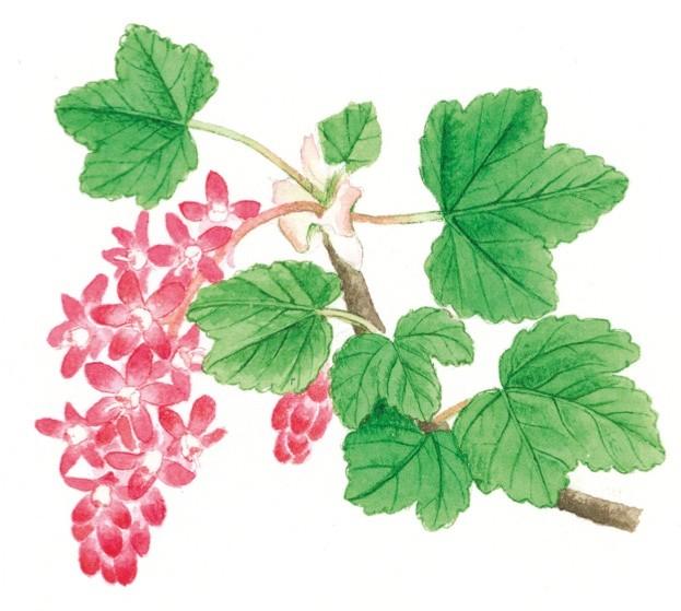 floweringcurrant_FelicityRoseCole_623-24b29e2