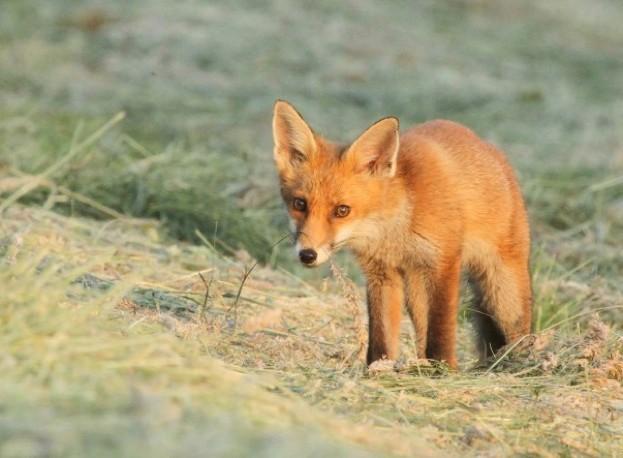 fox_StacyWoolhouse_623-d0fb5b6