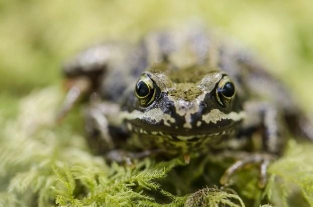 Common frog© Linnéa Ernofsson