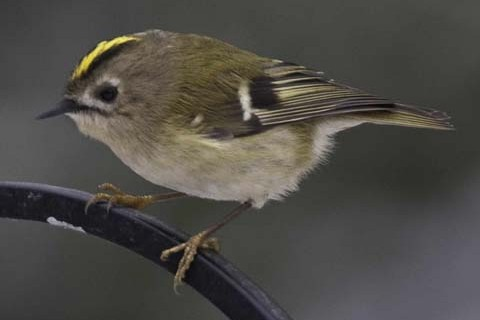 BTO Garden Bird of the Month – November: Goldcrest - Discover Wildlife