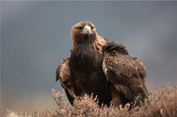 Golden eagle Aquila chrysaetos adult male sitting in heather, Cairngorms National Park, Scotland