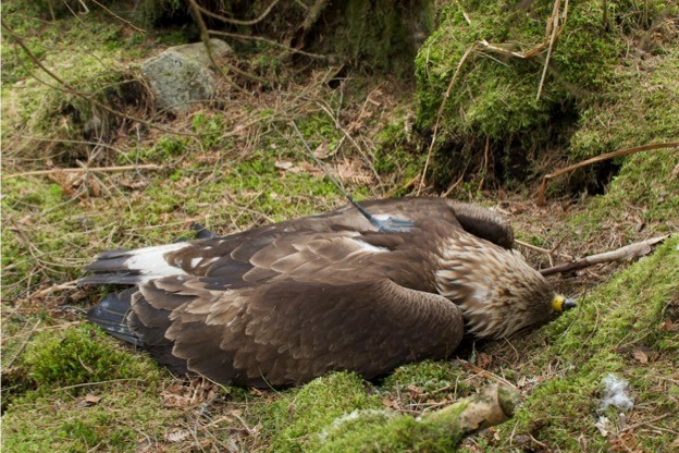 This golden eagle died after it got caught in a spring trap on a grouse moor in Angus in the east of Scotland. © RSPB Scotland