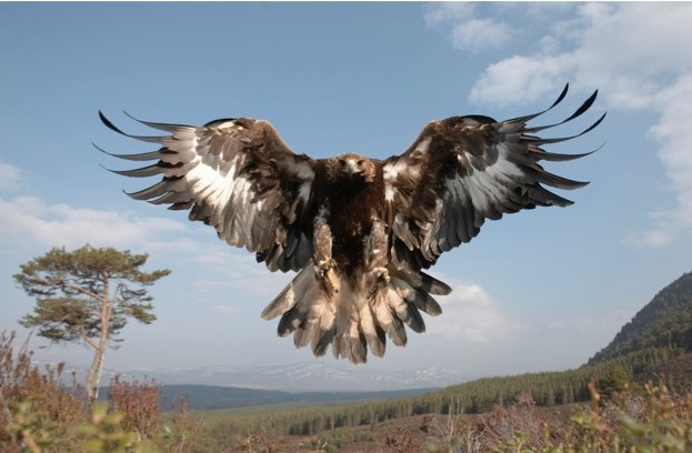 There are more than 500 pairs of golden eagles in Scotland today. © Pete Cairns/RSPB Images