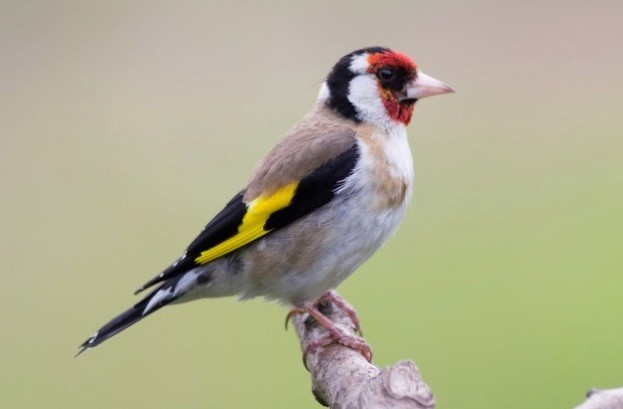 goldfinch_Colin20Frankland_623-d29b982