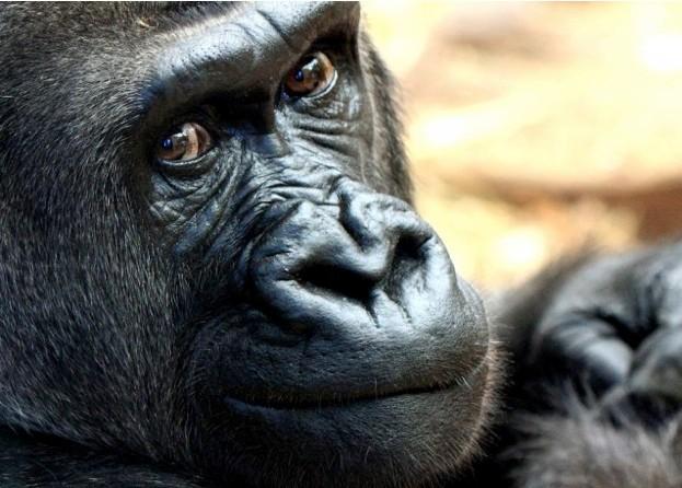 gorilla_623_sheilasmith-2d15ee2