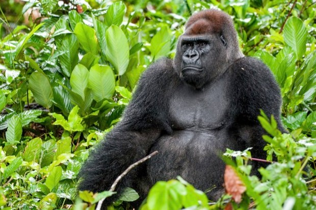 gorilla_uso_istock_623-b775713
