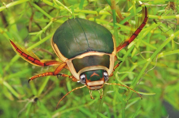 greatdivingbeetle_lauriecampbell_623-81133d3