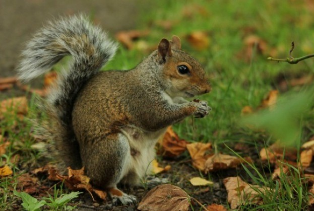 greysquirrel_-Ajay_623-22b1013