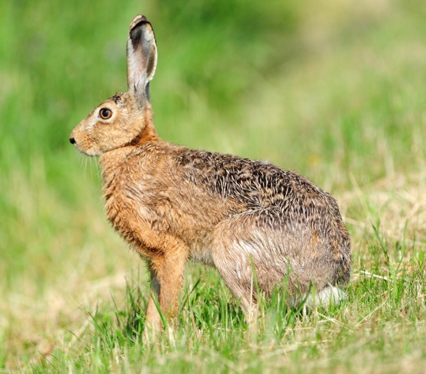 The cash prizes on offer to those involved in hare coursing can reach £8,000, according to intelligence picked up by the National Wildlife Crime Unit.