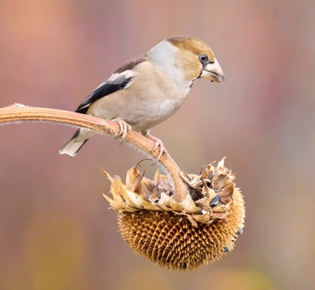 hawfinch_CuorerouC_istock_623-7c1a877