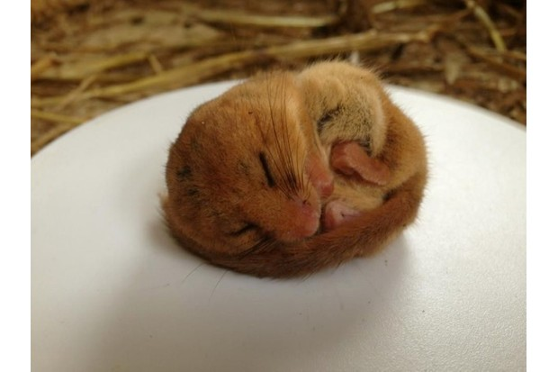 hazeldormouse_nickshelley_berkshirecollege_623-b59e439