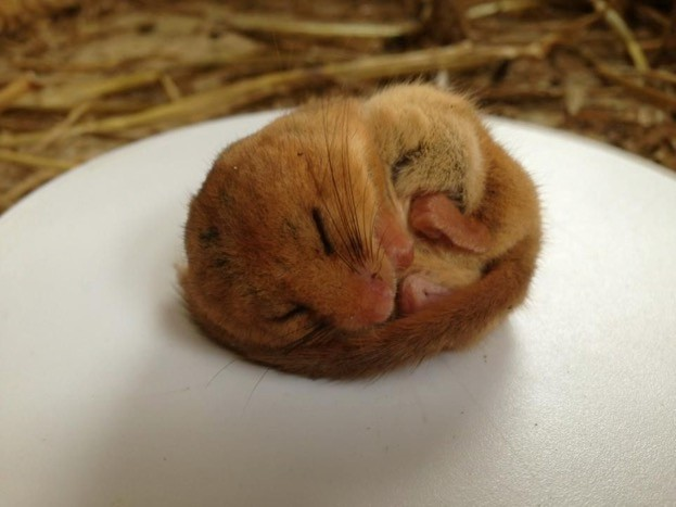 Dormice have been bred in British zoos for release into the wild. © Nick Shelley/Berkshire College of Agriculture
