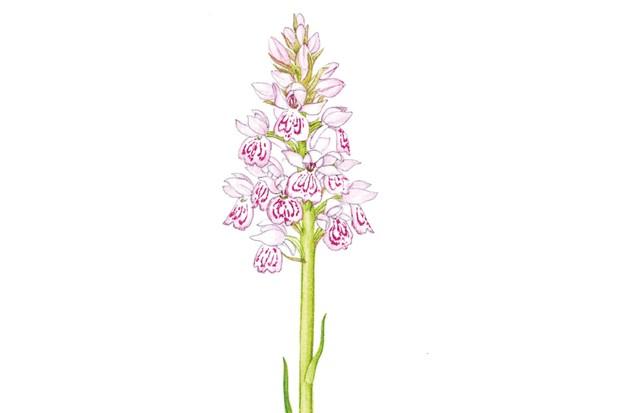 heathspottedorchid_christinahartdavis_623_0-4af8103