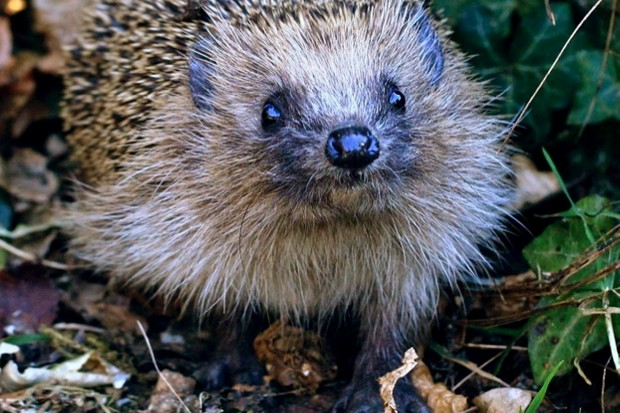 Hedgehog sightings are declining © Emily Clark