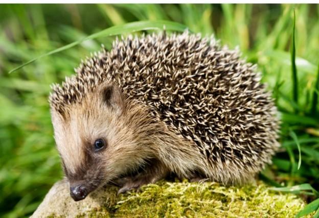 hedgehog_Philartphace_623-f3272da