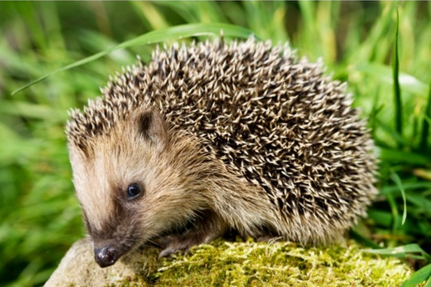 hedgehog_Philartphace_623-f3272da