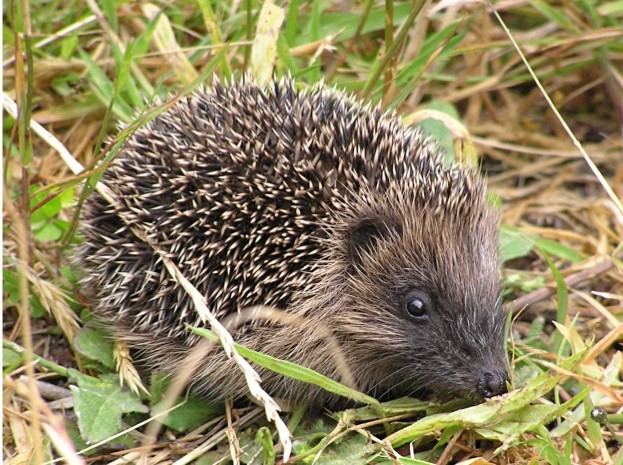 There are an estimated 25 hedgehogs left in Central London –and now they're under threat. © Tony Walls
