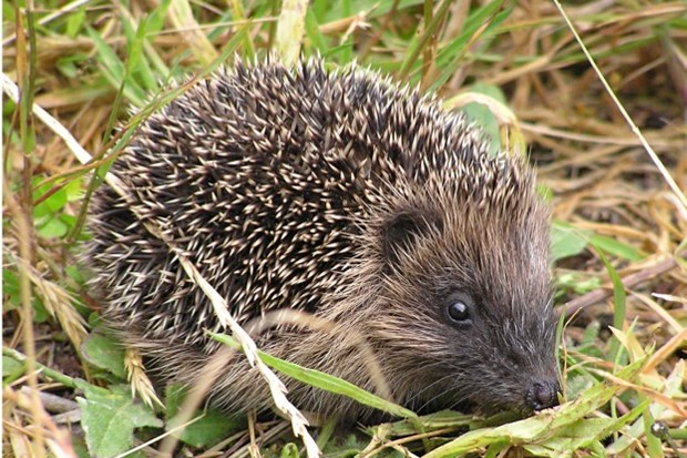 There are an estimated 25 hedgehogs left in Central London – and now they're under threat. © Tony Walls