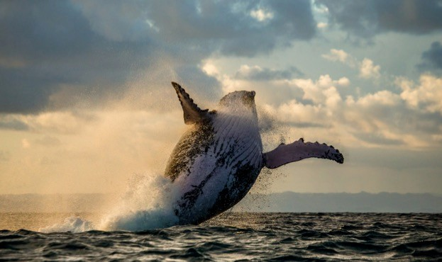Humpback whales played a starring role in BBC One's The Hunt: Hunger at Sea episode