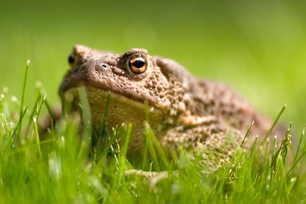 Toads lie dormant over winter, emerging when temperatures exceed 5°C ©Robert Kobsa / iStock