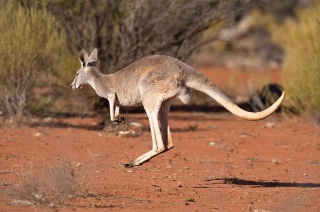 Red kangaroo hopping© JohnCarnemolla / iStock