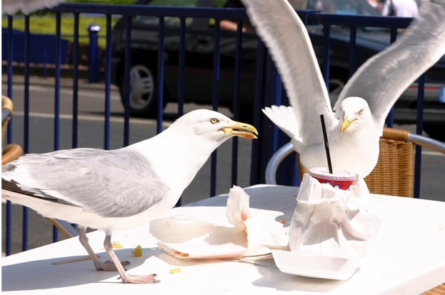 Urban gulls have been making the headlines for all the wrong reasons recently.