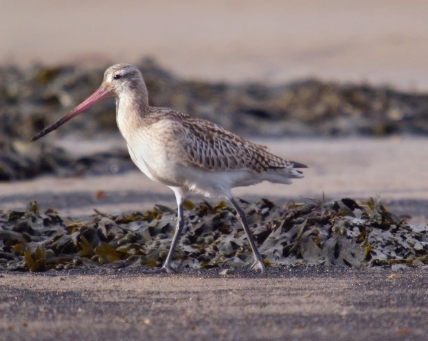 The bar-tailed godwit visits UK shores for the winter.