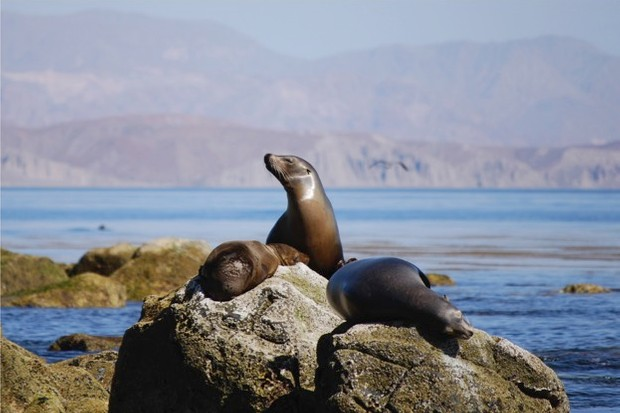 The domoic acid produced by marine algae has been found to have long-term effects on California sealions' memory and navigation. © Carrie Merrell/iStock