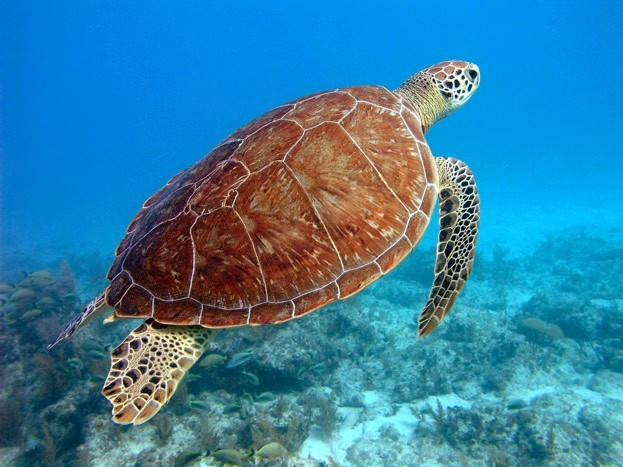 Egypt could be an important foraging site for green turtles.