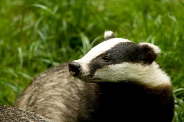Understand badger behaviour