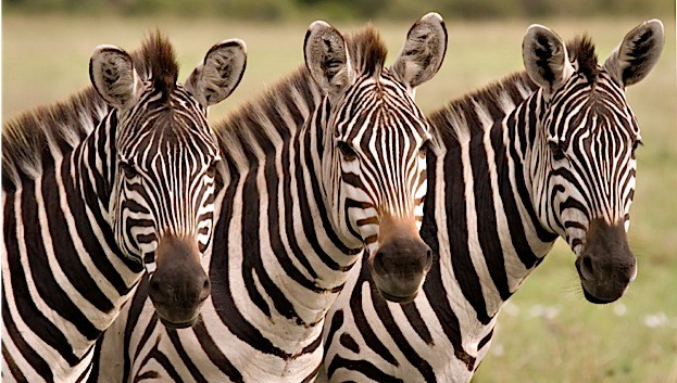 Close up of three zebras in Masai Mara Kenya