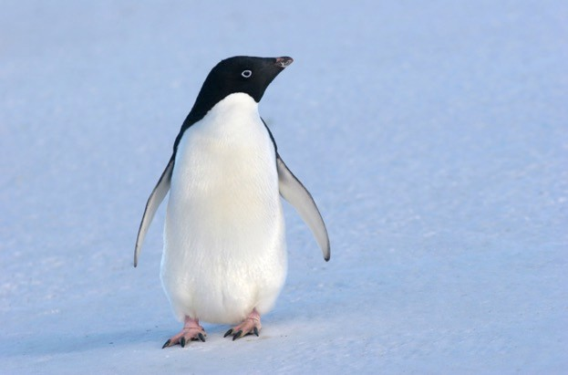 Adélie penguins at Palmer Station are in decline, but is it as a result of competition for food with gentoos? © flammulated/iStock