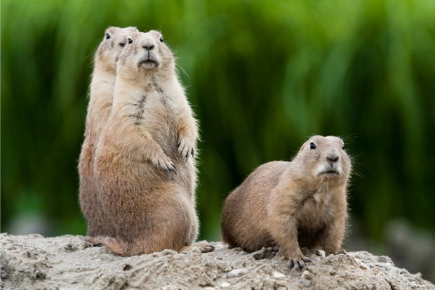 Prairie dogs live in underground burrows © iStock