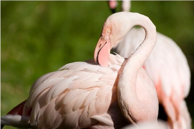 Greater flamingo© Anna Yu/iStock